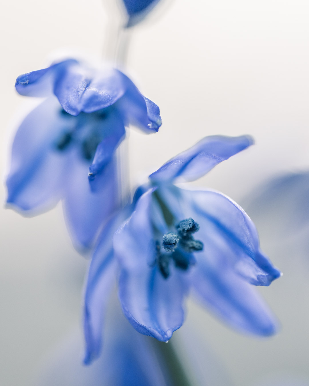 Close-up of bluebells