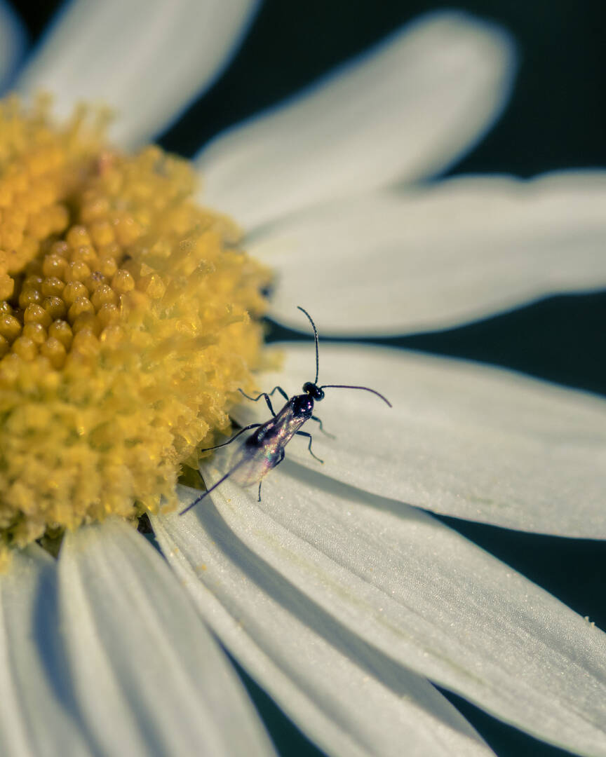 A bug walking on a daisy