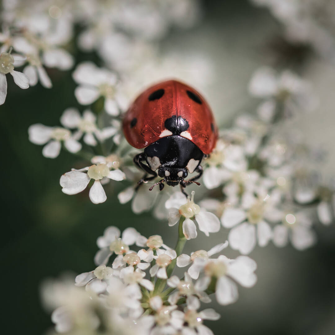 A ladybug walking on small white flowers.